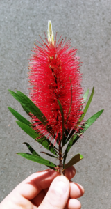 BottleBrush – Melaleuca citrina, Callistemon citrinus